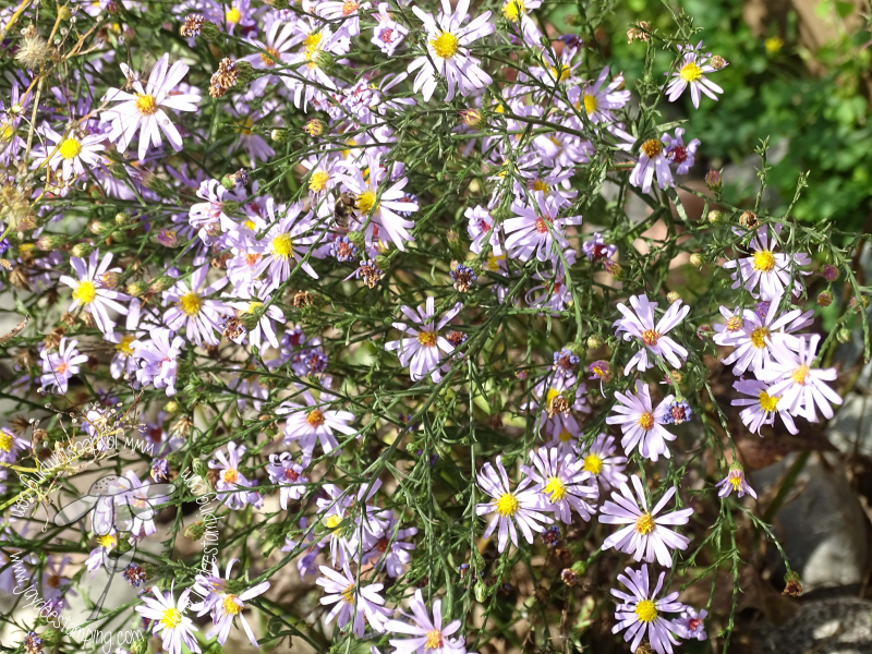 Asters (1 of 1)