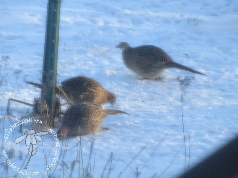 Female pheasant (1 of 1)