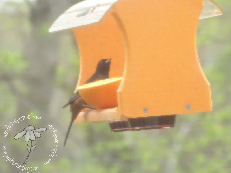 Orchard oriole (1 of 1)-3