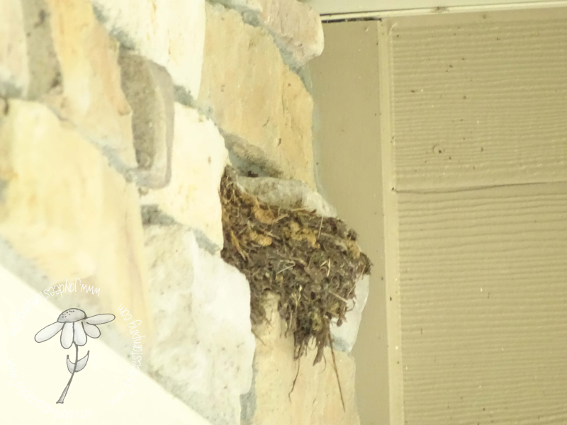 Barn swallow nest (1 of 1)