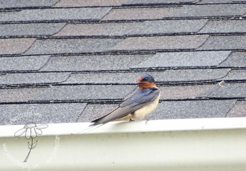 Barn swallow (1 of 1)
