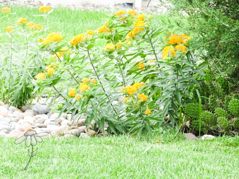 Butterfly weed (1 of 1)