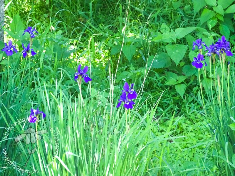 Iris (1 of 1)-2