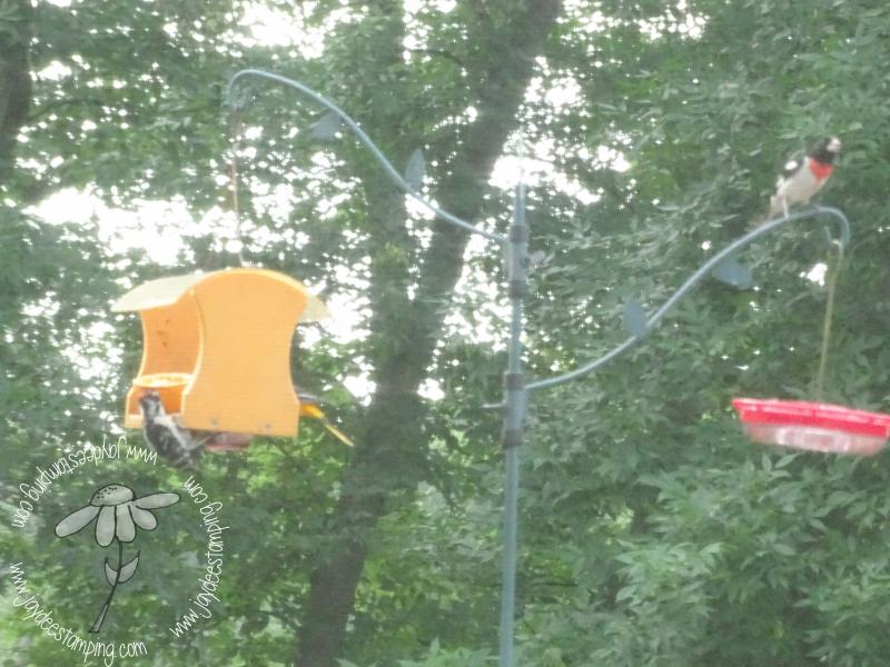 Woodpeckeroriolegrosbeak (1 of 1)-2