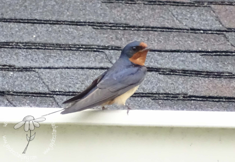 Barn swallow (1 of 1)-2