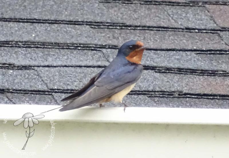 Barn swallow (1 of 1)-2