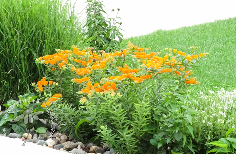 Butterfly weed  meadow sage  bluestem  coneflower (1 of 1)
