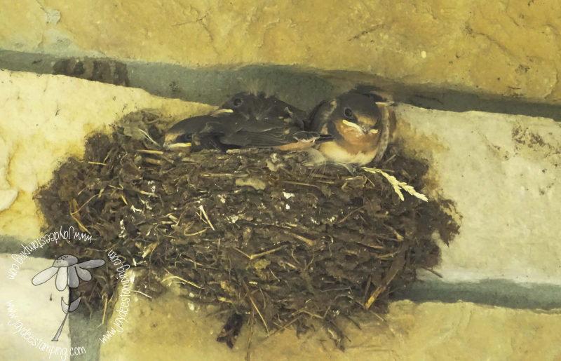 Barn Swallows (1 of 1)