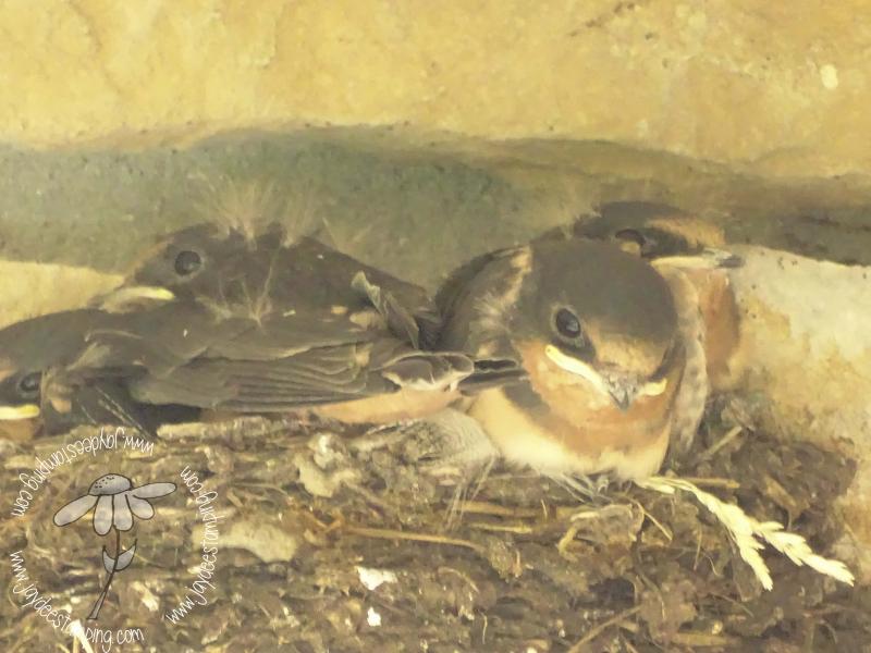 Barn Swallows closeup (1 of 1)