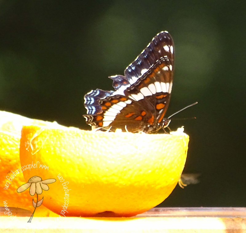 White Admiral (1 of 1)