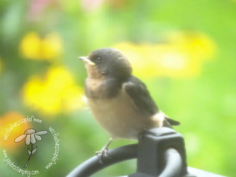 Barn Swallows Baby (1 of 1)