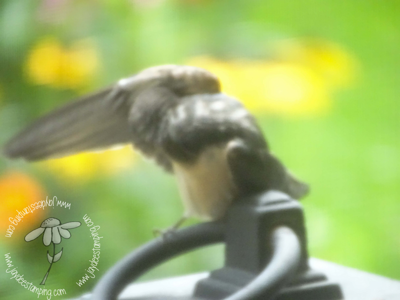 Barn Swallows Baby wing cleaning (1 of 1)