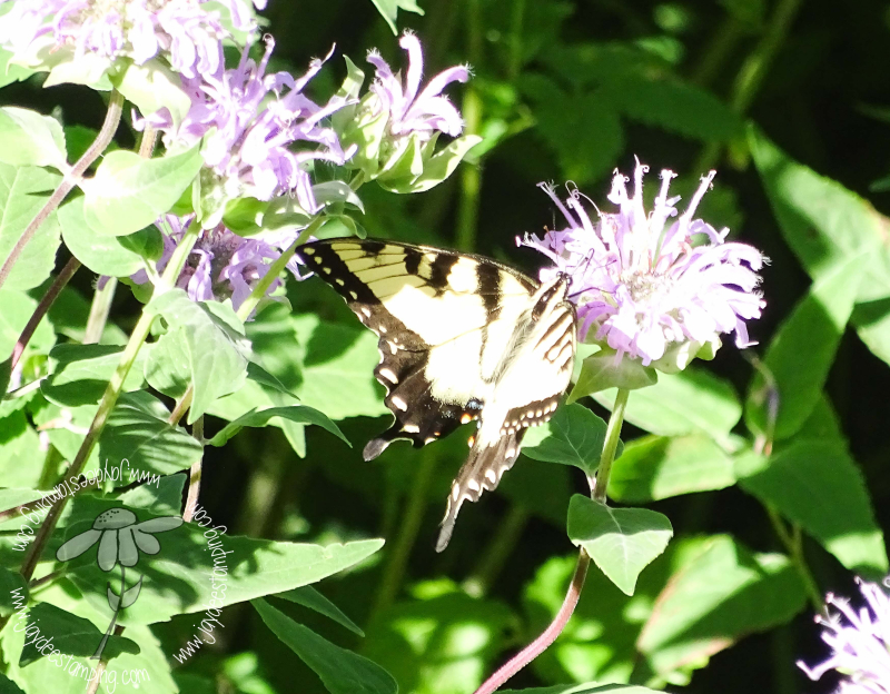 Swallowtail (1 of 1)