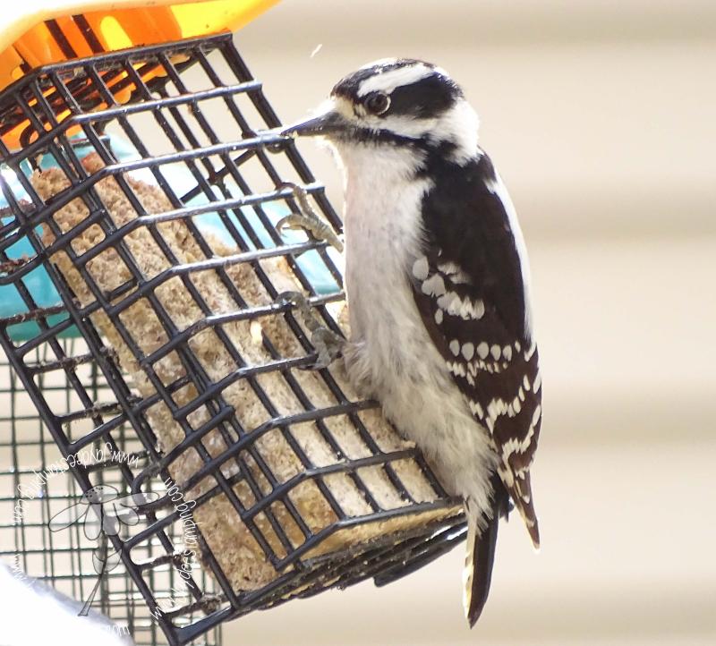 Hairy Woodpecker (1 of 1)