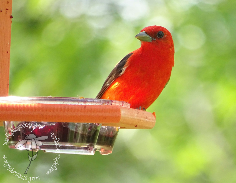 Tanager (1 of 1)