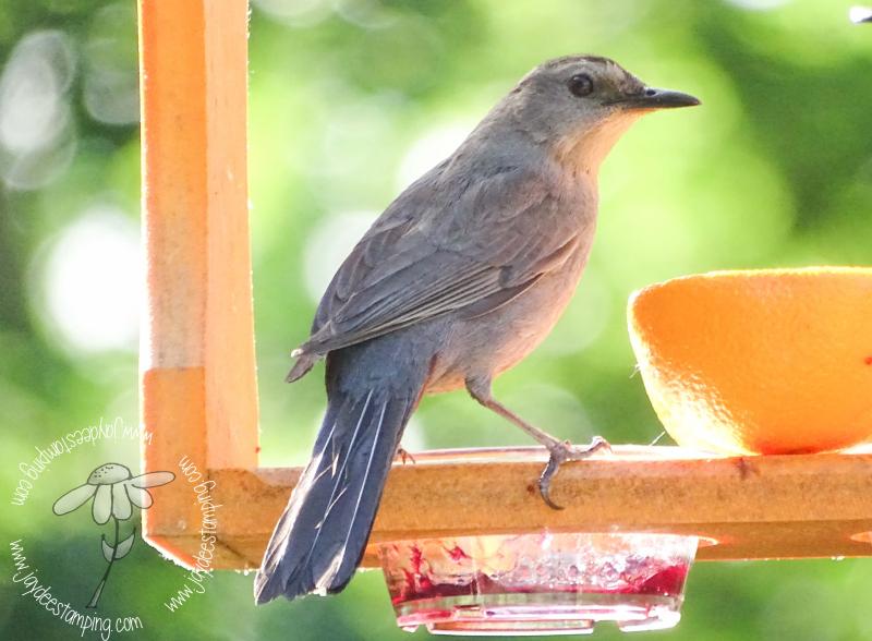 Catbird (1 of 1)