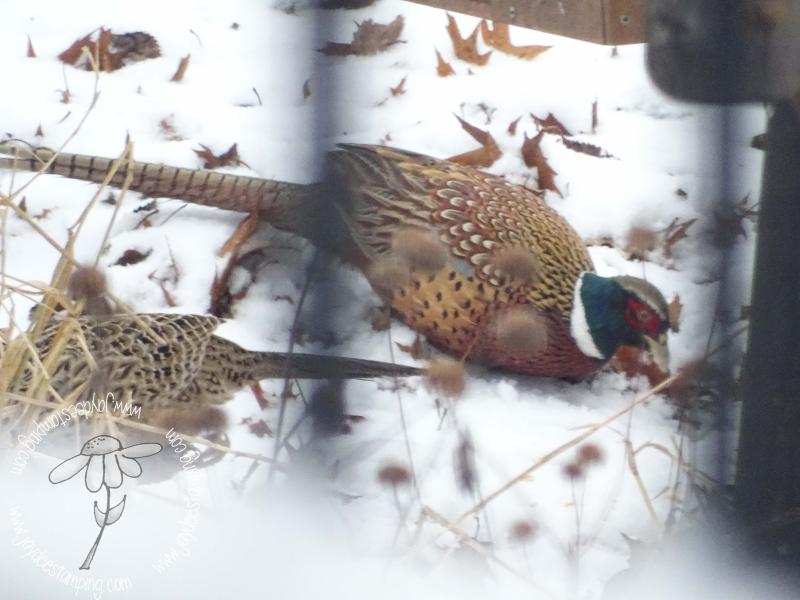 Pheasant (1 of 1)-2