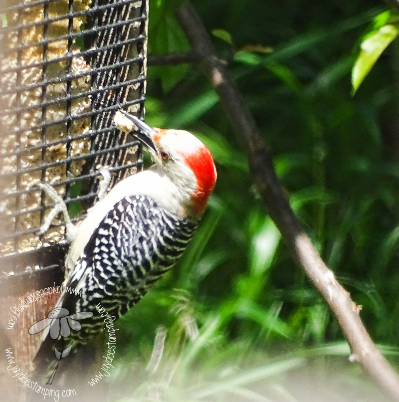 Redbellied Woodpecker (1 of 1)