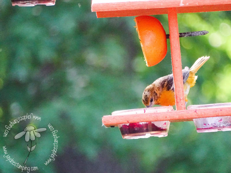 Young Oriole (1 of 1)