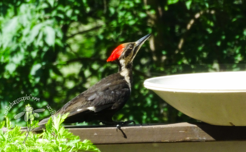 Pileated (1 of 1)
