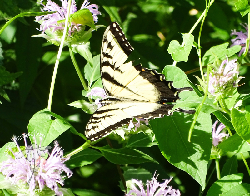 Yellow Swallowtail (1 of 1)