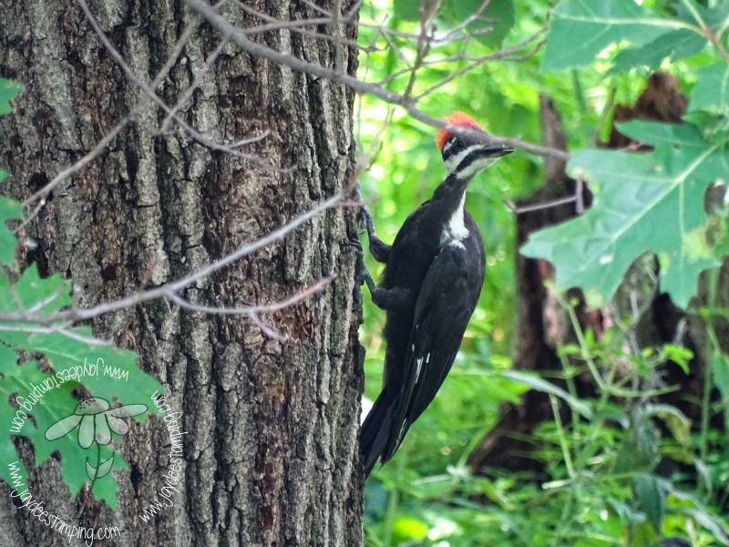 Pileated (1 of 1)-4