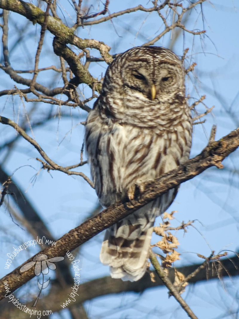 Barred Owl (1 of 1)-3