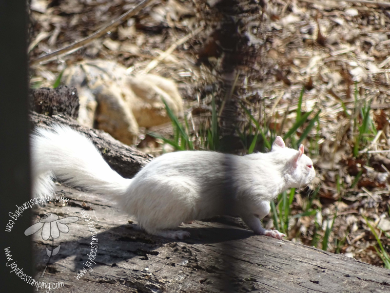 White squirrel (1 of 1)-2