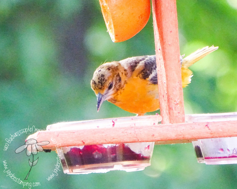 Young male oriole2 (1 of 1)