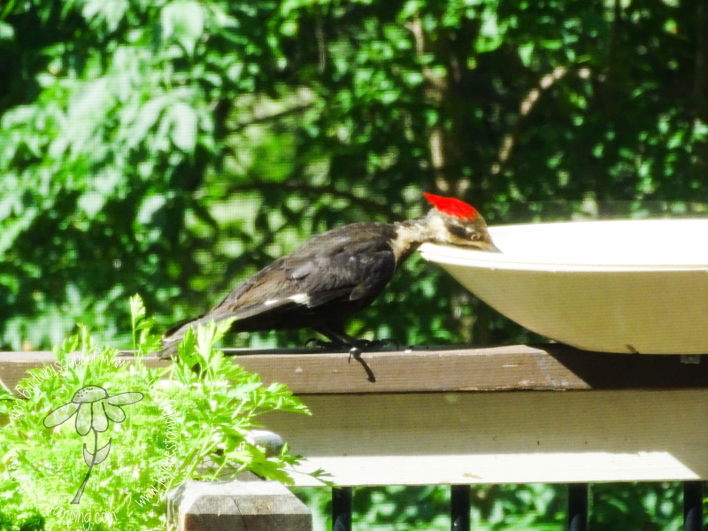 Pileated (1 of 1)-2