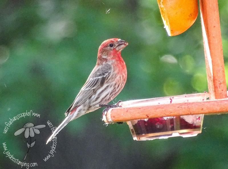 House Finch (1 of 1)