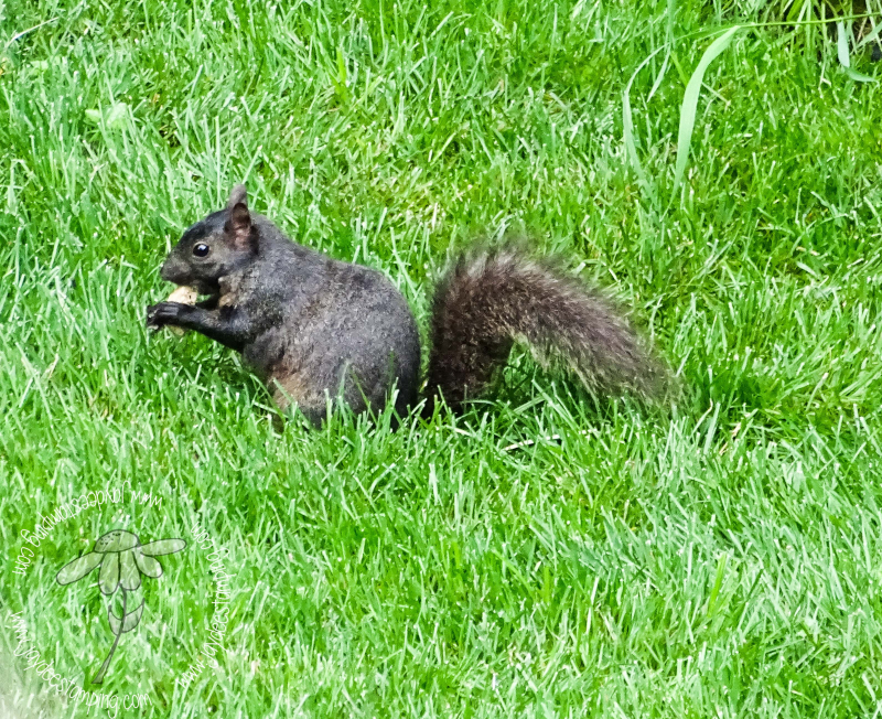 Black squirrel (1 of 1)-2