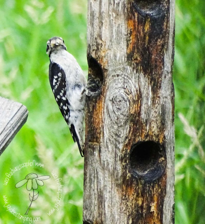 Woodpecker (1 of 1)-2