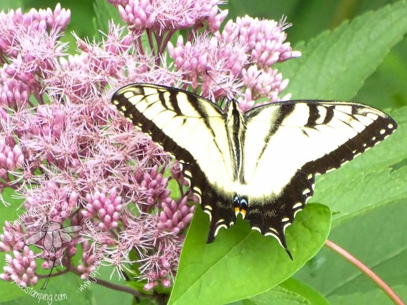 Yellow Swallowtail (1 of 1)-2