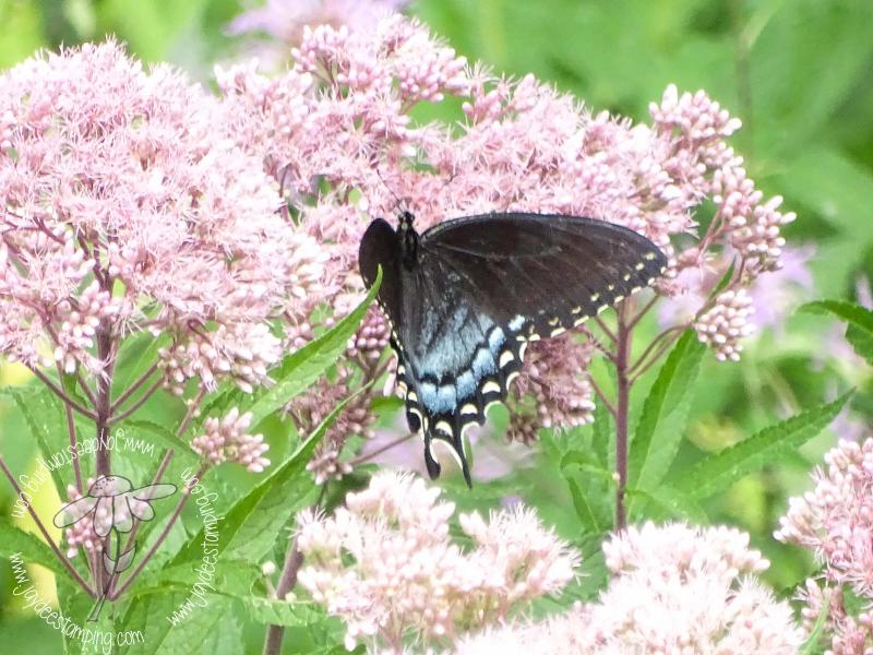 Black Swallowtail (1 of 1)-3