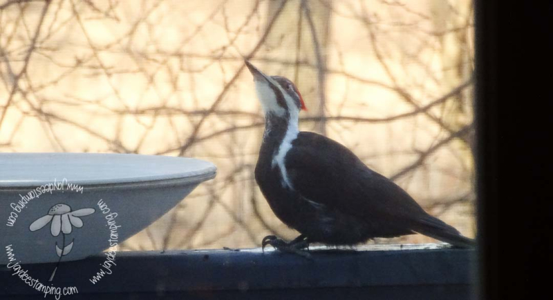 Pileated (1 of 1)-5