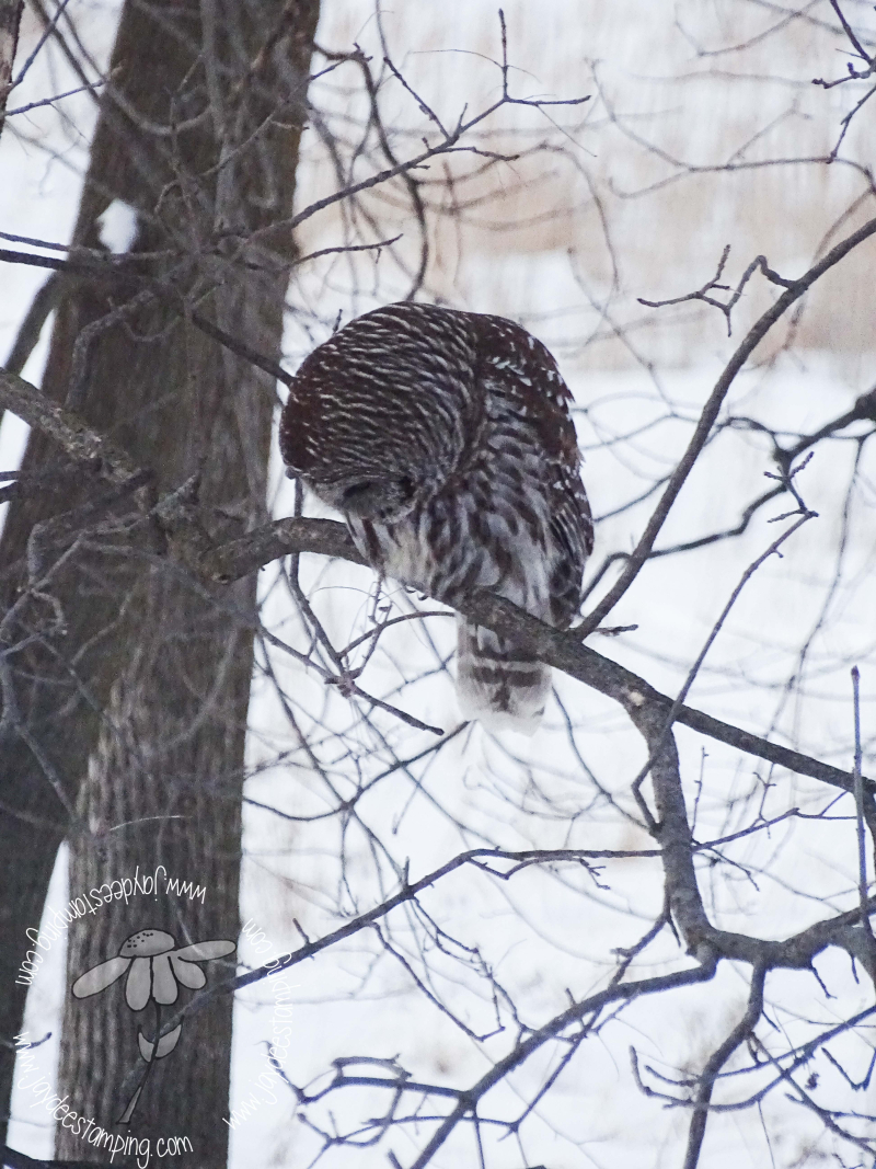 Barred Owl3 (1 of 1)