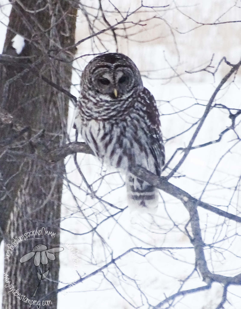 Barred Owl4 (1 of 1)