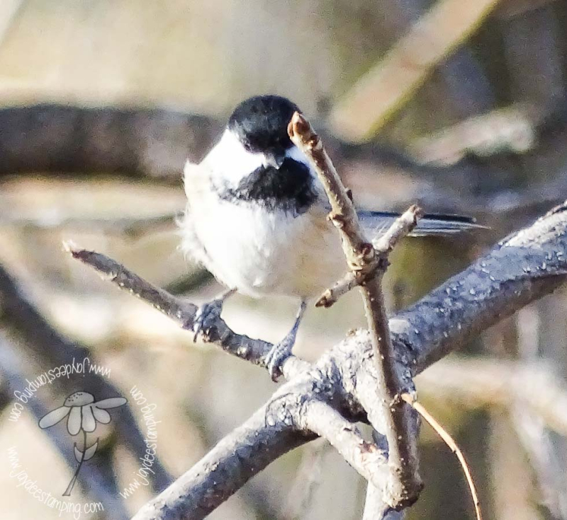 Chickadee (1 of 1)