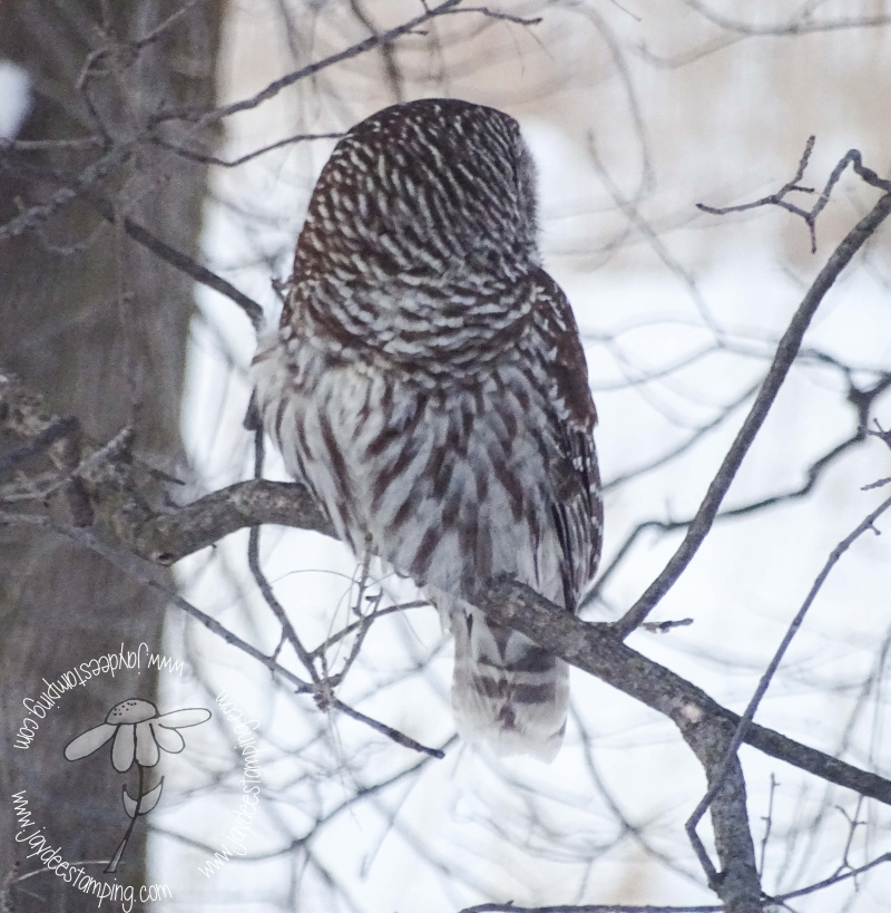 Barred Owl2 (1 of 1)