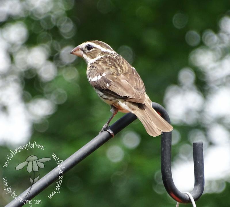 Female Grosbeak (1 of 1)-7